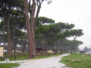 The fabled Umbrella Pines live on in this view of the Sea Pines Campground just north of Livorno American  High School